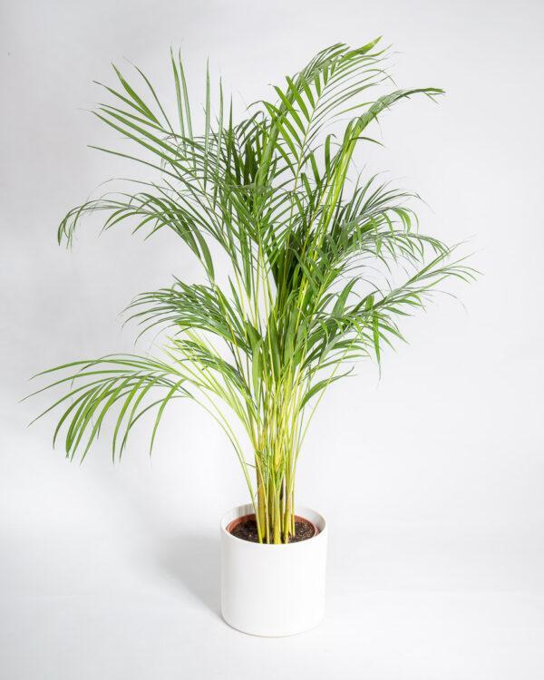 palmeira areca dypsis lutescens-2