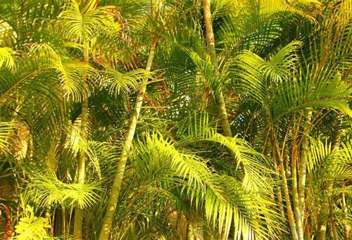 palmeira areca habitat natural