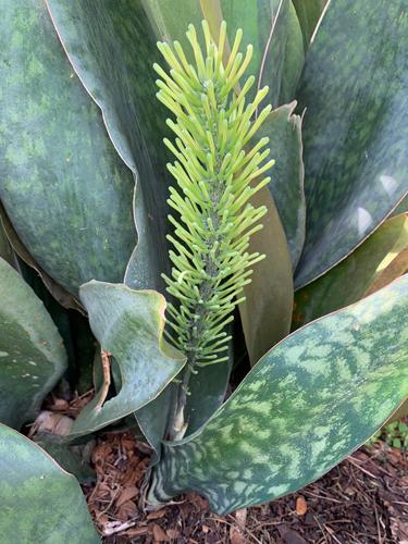 Sanseveria masoniana em flor
