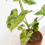 Syngonium mottled mojito variegata