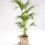 Howea forsteriana - kentia palm