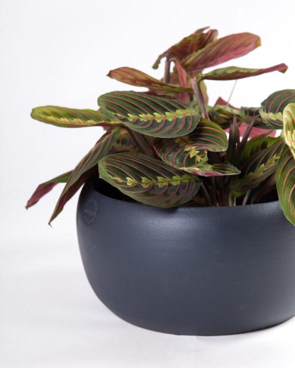 Taça vaso cibele azul escuro com maranta fascinator