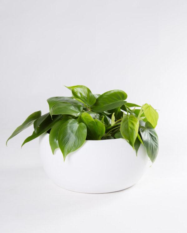Taça vaso cibele branco com philodendron scandens