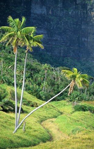 kentia_palm_habitat natural