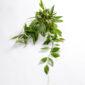 Flor de cera - Hoya Pubicalyx