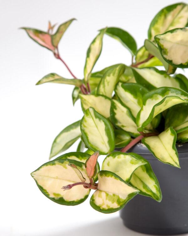 Hoya carnosa tricolor krimson queen