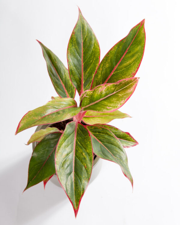 Aglonema commutatum light pink star