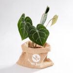 Anthurium clarinervium urban jungle
