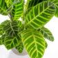 Calathea zebrina folhas