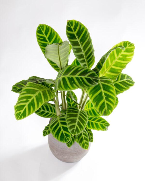 Calathea zebrina em vaso urban jungle