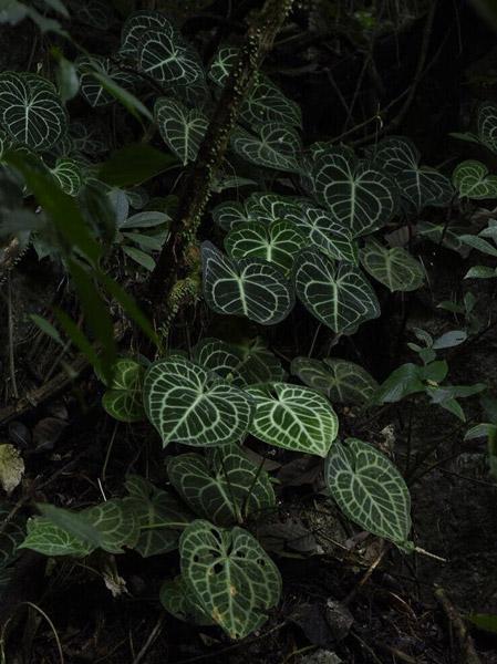 anthurium-clarinervium-natural-habitat